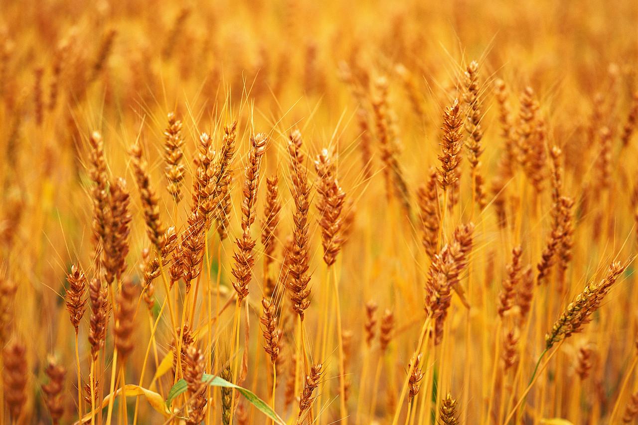 Golden Wheat in June